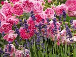 rosa e lavanda Aromaterapia