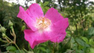 rosa rosa 300x169 La pecora e la luna alchimia