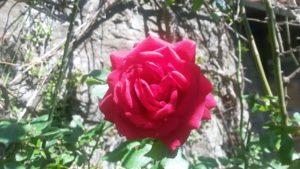 rosa rossa 300x169 La pecora e la luna alchimia