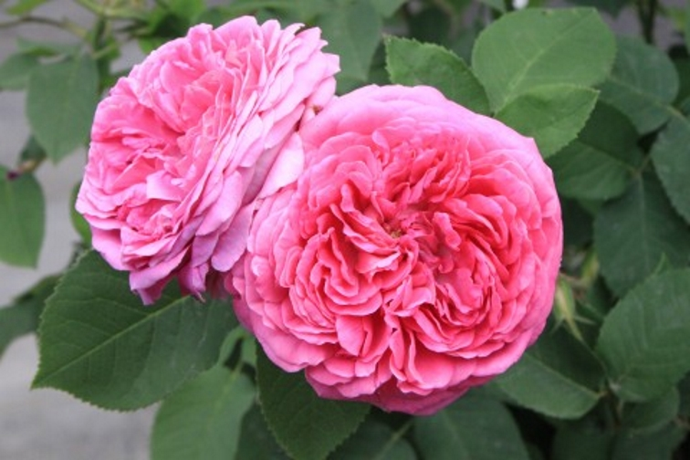 rose damascena Essential Oil and Floral Waters