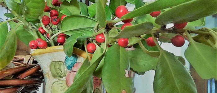 rosso agrifoglio 700x300 Il Natale si avvicina