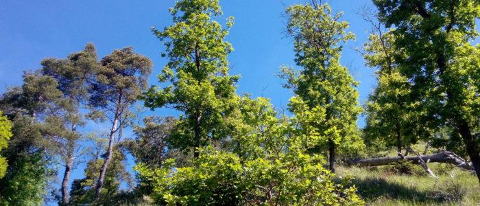 roverelle e pini 700x300 Il bosco dei Gergi piante e fiori nel sentiero nr 3