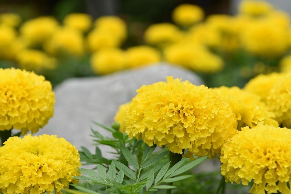 tagete fiore Amici fiori