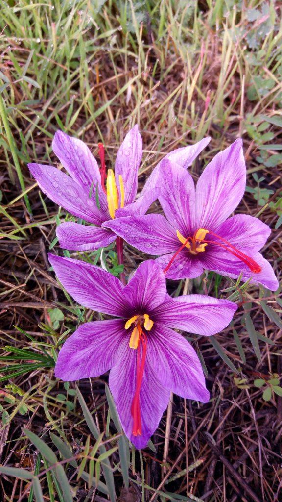 zafferano e rugiada 576x1024 October the month of saffron